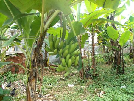 musa: Banana tree with musa banana Stock Photo