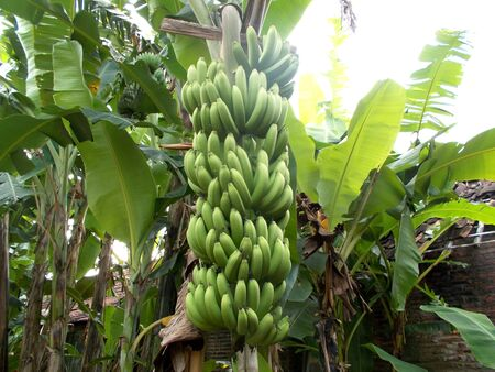 bunches: Bunches of banana image