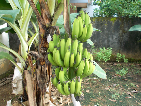 bunches: Bunches of banana on the tree at the garden