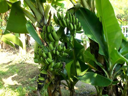 buch: green buch of banana musa at the tree Stock Photo