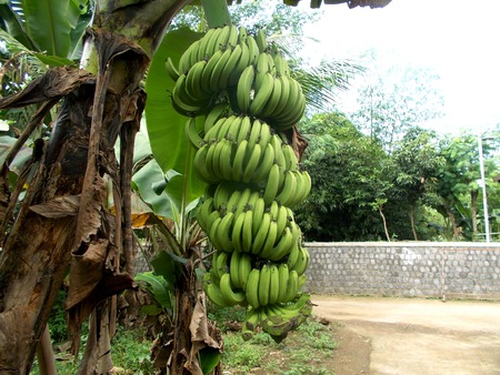 bunches: Big bunches of banana fruit and the tree Stock Photo