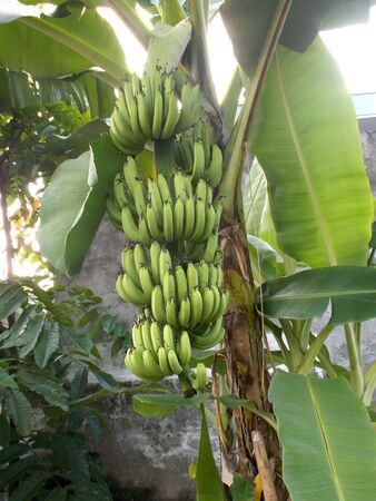 bunches: Banana tree with big bunches of banana