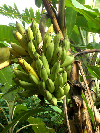 bunches: Old bunches of banana on the tree, musa Stock Photo