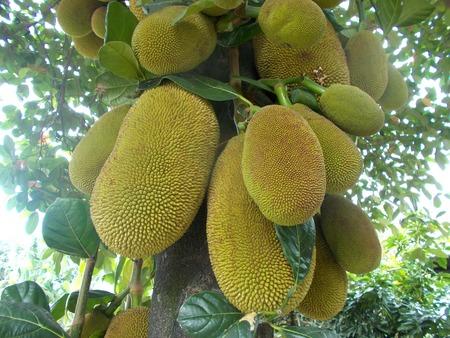 big leafs: jackfruit tree and the fruits image