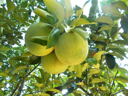 citrus maxima: pomelo fruit or grapefruit on the tree