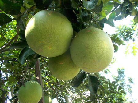 pomelo: pomelo, grapefruit stockphoto