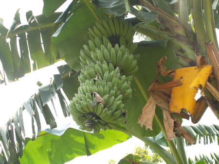 bunches: bunches of banana on the tree Stock Photo