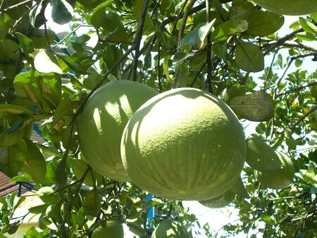 citrus maxima: pomelo or grapefruit on the plants