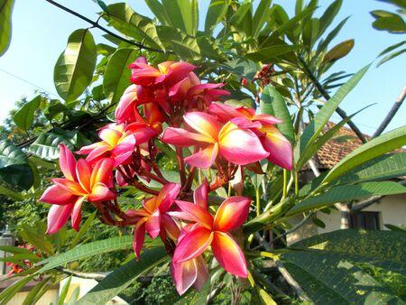 kamboja: red yellow white frangipani flower on the tree, plumeria Stock Photo