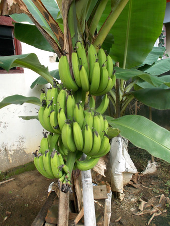 bunches: bunches of banana on the tree  image Stock Photo