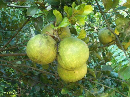 pomelo: Pomelo, garpefruit or citrus maxima stock photo