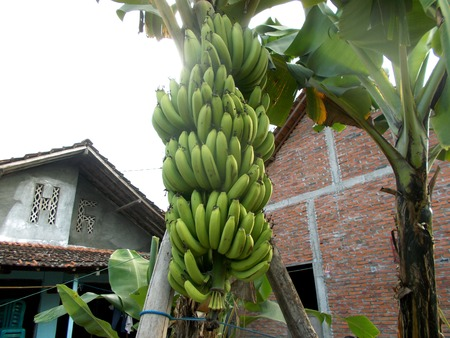 bunches: bunches of green banana on the tree Stock Photo