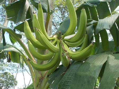 bunches: Bunches of horn banana stock photo Stock Photo
