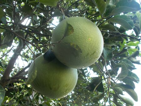 pummelo: Big pomelo fruit on the tree or plants