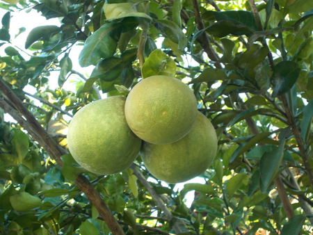 citrus maxima: pummelo or pomelo on the tree , grapefruit