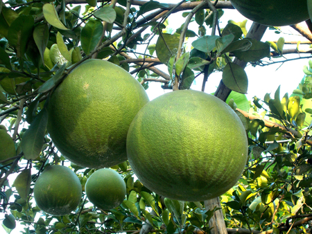citrus maxima: old pomelo or grapefruit on the tree Stock Photo