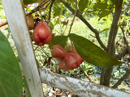 Red eugenia or java apples on the tree Stock Photo