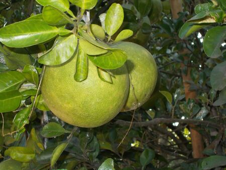 citrus maxima: citrus maxima or pomelo fruit on the tree Stock Photo