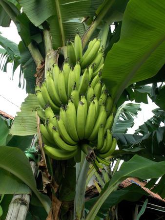 musa: Musa banana hanging on the tree