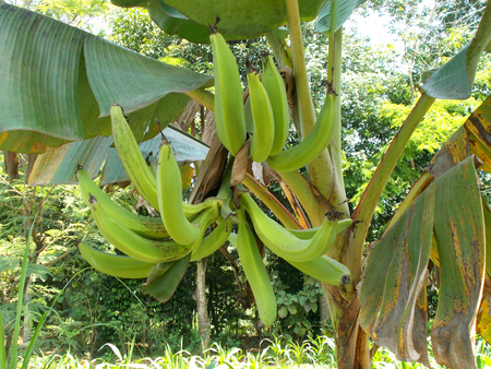 bunches: One bunches of horn banana on the tree Stock Photo