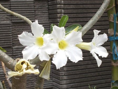 adenium: three white adenium flower on the plants