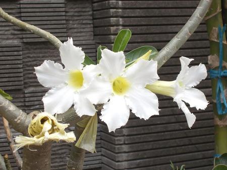 adenium: three white adenium flower on the plants