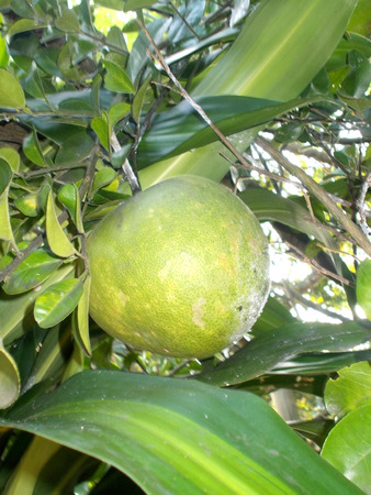 pummelo: pummelo or pomelo on the tree, grapefruit