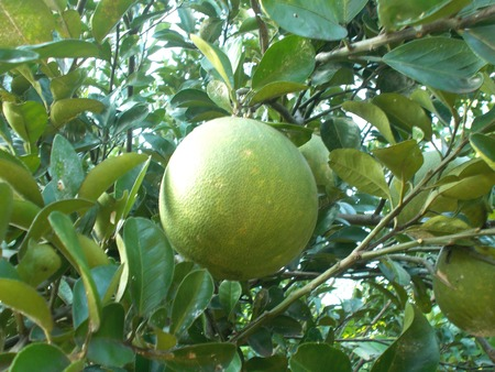 citrus maxima: Pummelo or pomelo on the tree, grapefruit