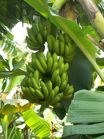 bunches: bunches of banana fruit on the tree