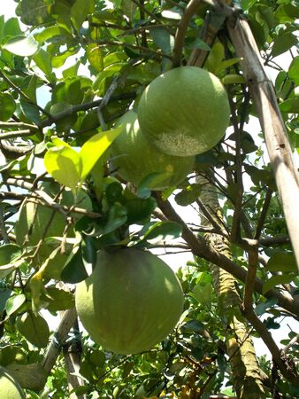 citrus maxima: Big pomelo or grapefruit at the tree Stock Photo