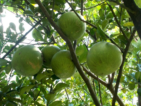 pummelo: five big pomelo or pummelo on the tree, grapefruit