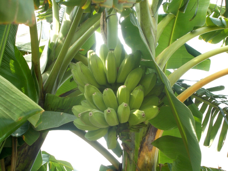 bunches: Big Bunches of banana fruit on the tree