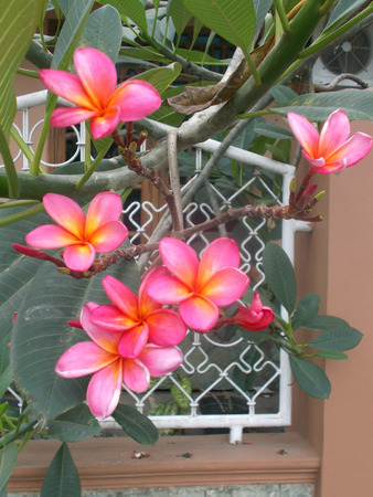 red yellow pink plumeria flower on the tree Stock Photo