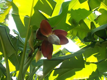 glower: red banana glower on the tree