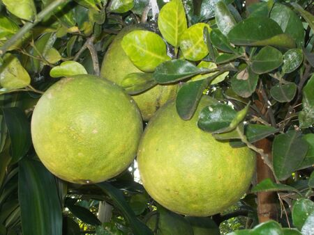 three big pomelo