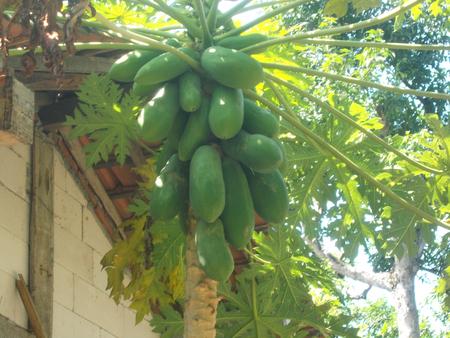 green papaya: green papaya and the tree Stock Photo