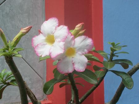 adenium: white adenium flower