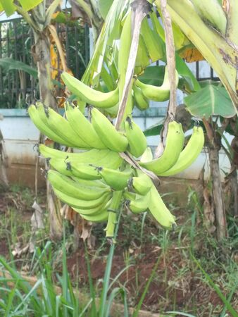 bunches: big bunches of banana and the tree