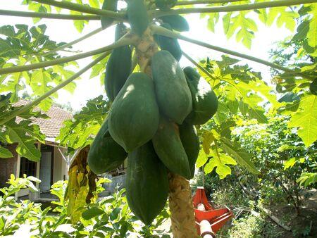 green papaya: green papaya on the tree