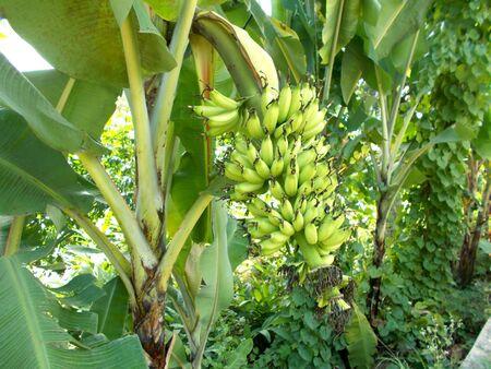 small banana on the tree