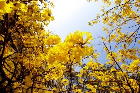 Yellow Tabebuia Baum Standard-Bild - 17835358