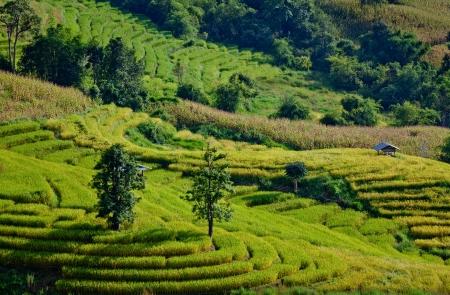 Rice field on terraced mountain  photo