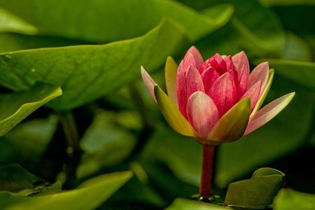 a pink Lotus photo