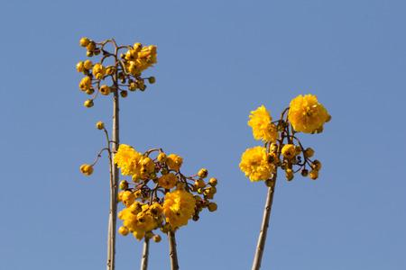 sch: Cochlospermum regium, also known as Yellow Cotton Tree Stock Photo