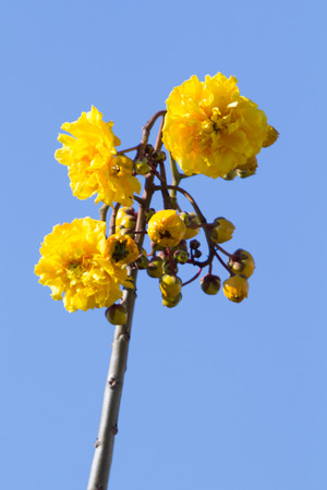 Cochlospermum regium, also known as Yellow Cotton Tree photo