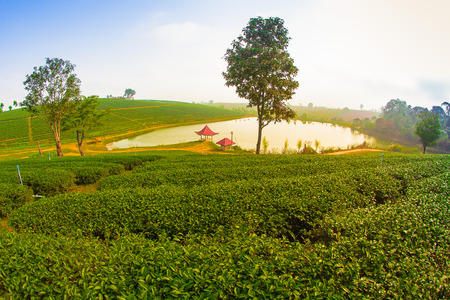 green tea plantation landscape photo