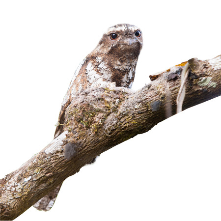 backgroud: Hodgson s Frogmouth on isotale backgroud