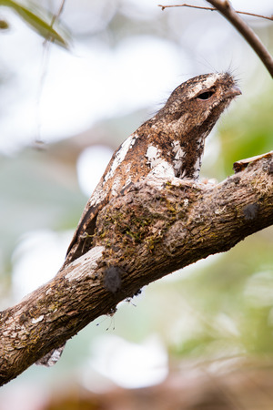 incubate: Hodgson s Frogmouth Bird is unseen of thailand incubate juvenile in the nest on the tree