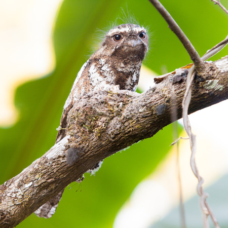 Hodgson s Frogmouth Bird is unseen of thailand incubate juvenile in the nest on the tree  photo