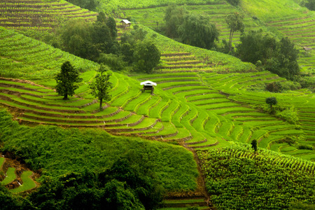The landscape of Saigon: Rice fields on terrace